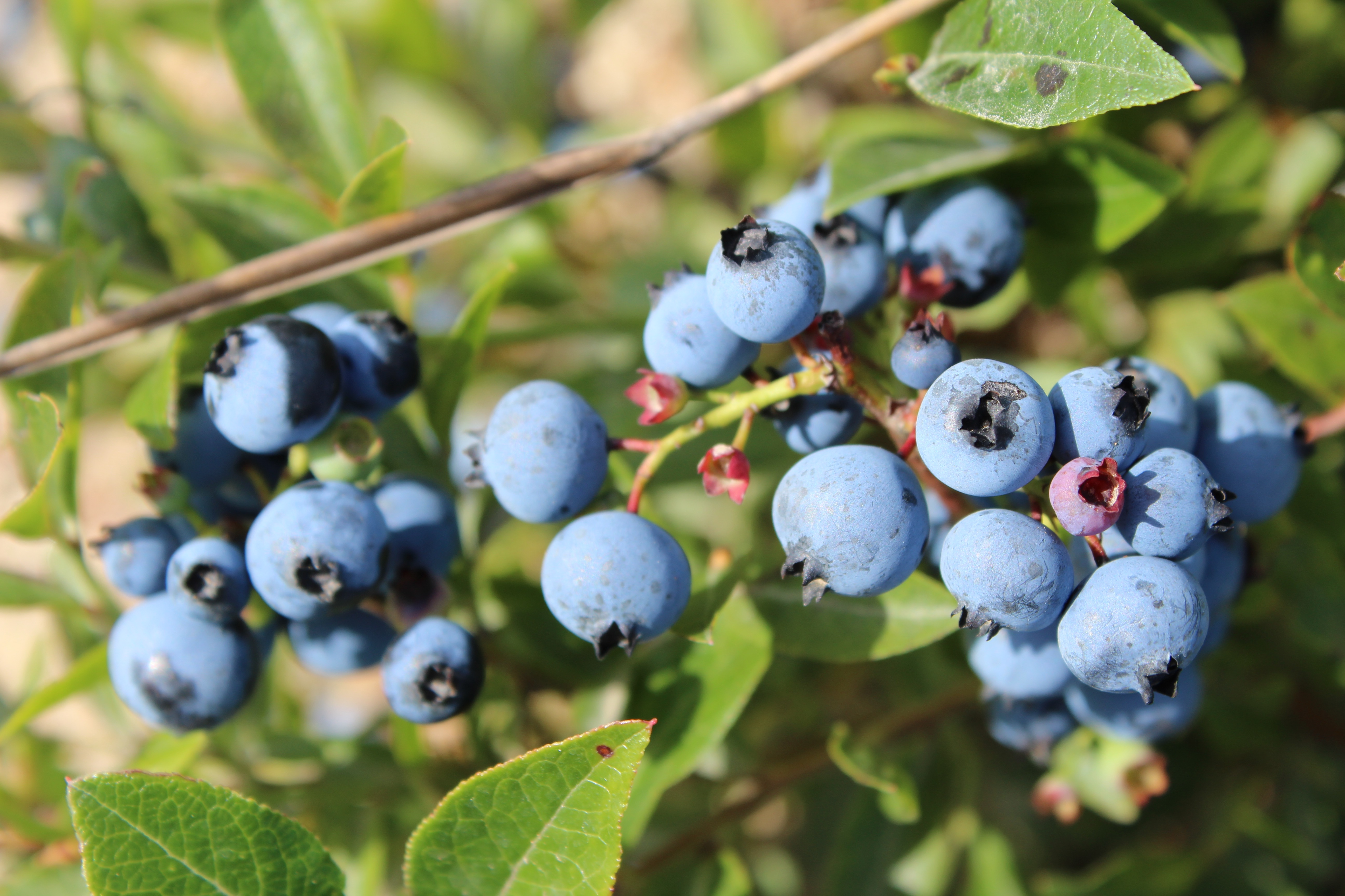 Wild Blueberries: Small, But Fierce | Better Is the New ...